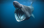 Basking shark, Cornwall